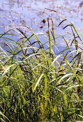 Carex acuta Carex acuta Wikipdia