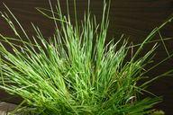 Carex albida calphotosberkeleyeduimgs128x192000000000610