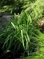 Carex amplifolia wwwtheodorepayneorgmediawikiimagesthumb180px