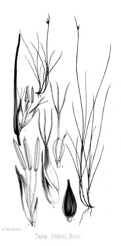 Carex archeri