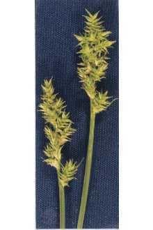 Carex arcta httpsplantsusdagovgallerystandardcaar2002