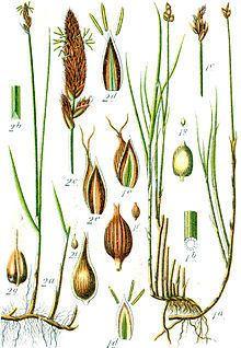 Carex chordorrhiza httpsuploadwikimediaorgwikipediacommonsthu