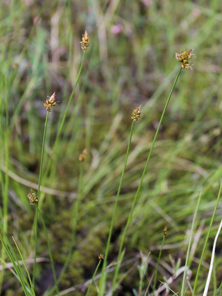 Carex chordorrhiza Fadenwurzelige Segge Wikipedia