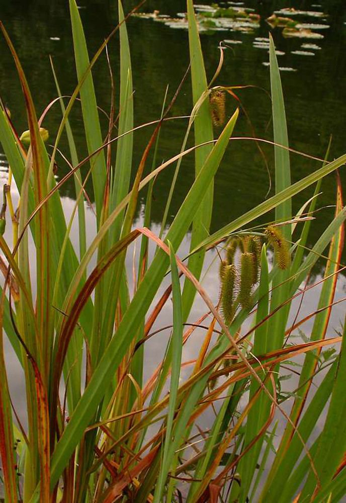 Carex comosa Carex comosa bearded sedge Go Botany