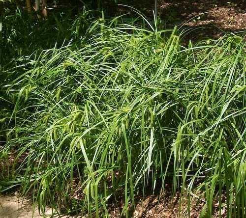 Carex comosa Online Virtual Flora of Wisconsin Carex comosa
