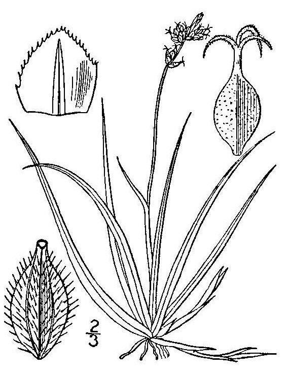 Carex concinna