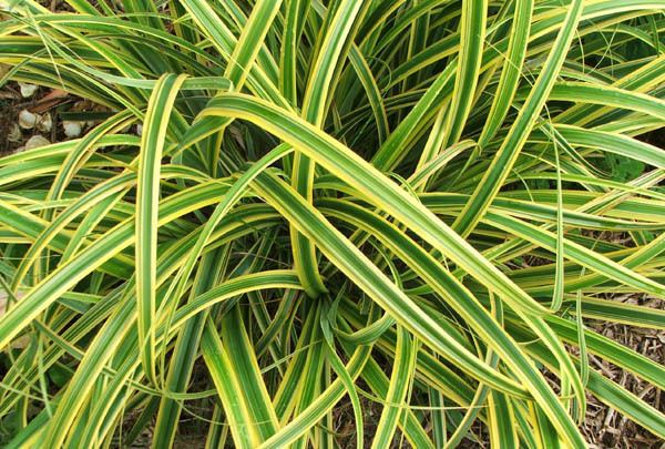 Carex Carex The Alternative to Your Lawn Twigs Landscaping Official
