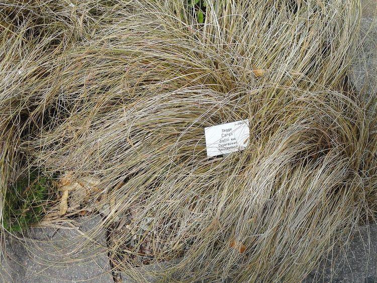Carex dallii
