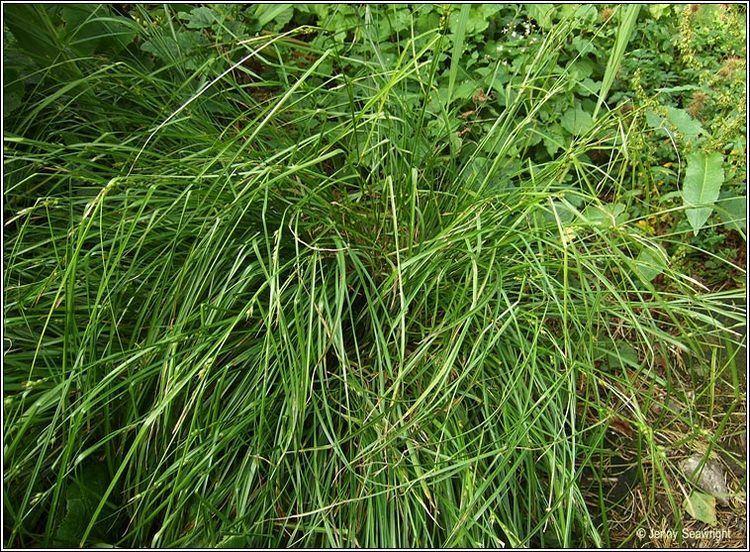 Carex depauperata Irish Sedges Starved Woodsedge Carex depauperata