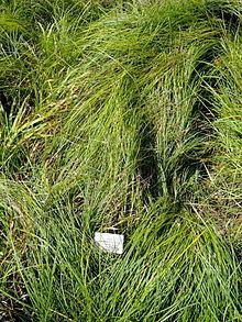 Carex depauperata httpsuploadwikimediaorgwikipediacommonsthu