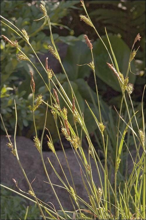 Carex distans CalPhotos Carex distans Distant Sedge
