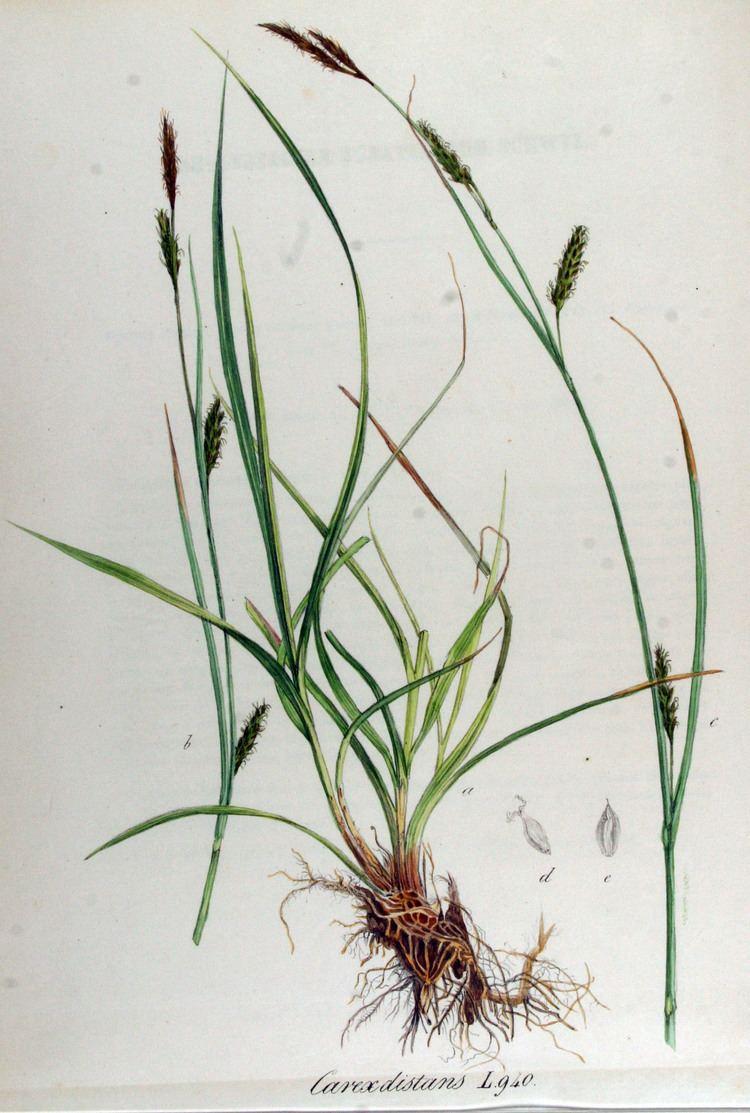 Carex distans FileCarex distans Flora Batava Volume v12jpg Wikimedia Commons
