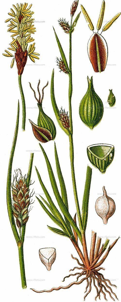 Carex distans Suche nach Arten Entfernthrige Segge Carex distans subsp