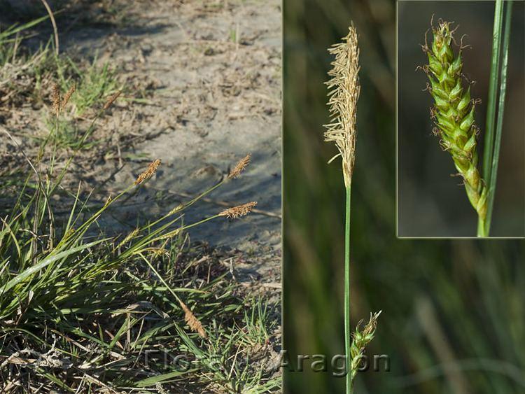 Carex distans Flora de Aragn Carex distans