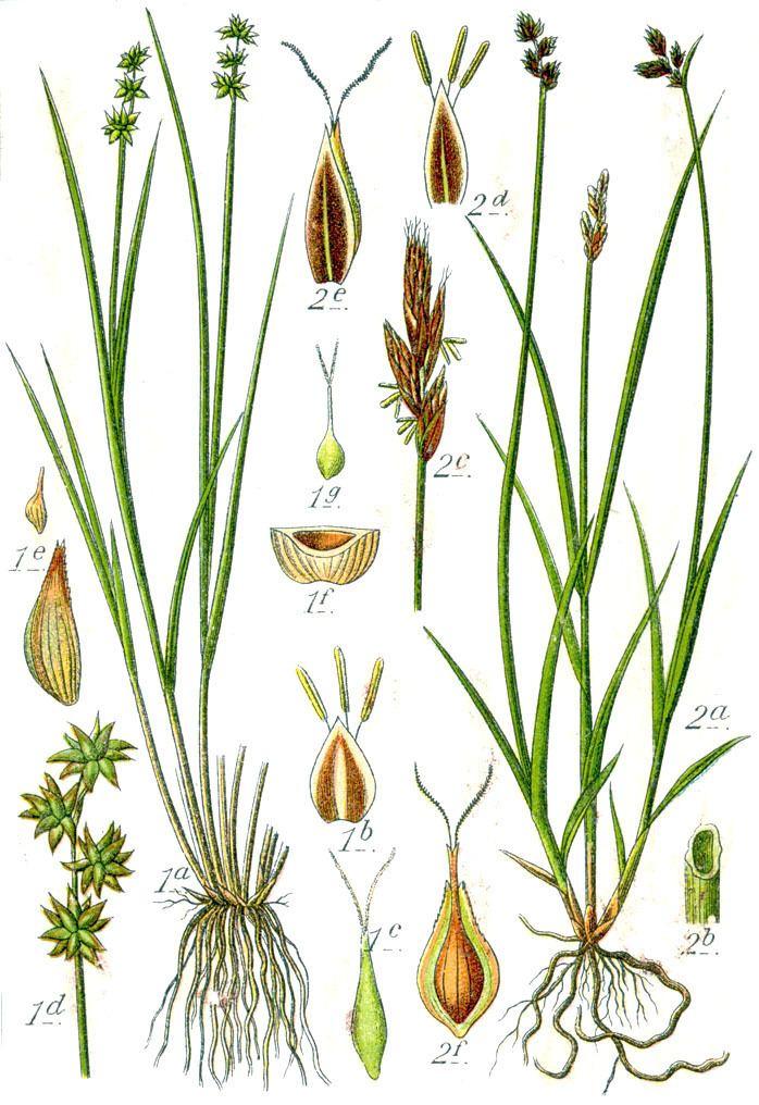 Carex echinata Carex echinata Wikipedia