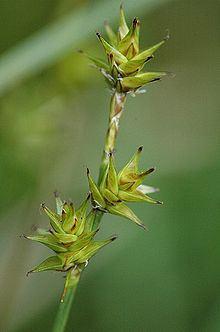 Carex echinata httpsuploadwikimediaorgwikipediacommonsthu