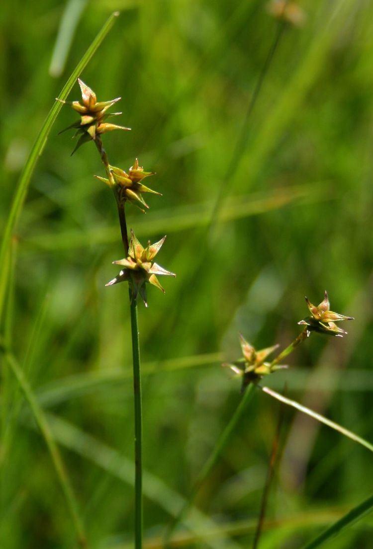 Carex echinata IgelSegge Wikipedia