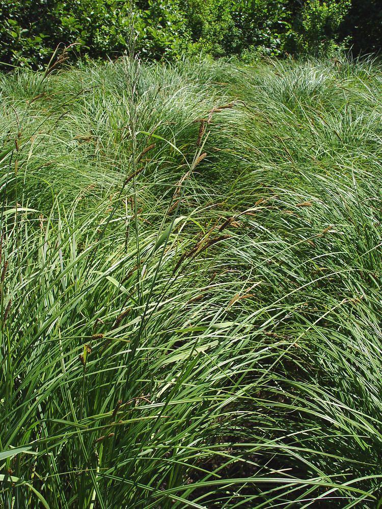 Carex emoryi httpsnewfss3amazonawscomtaxonimages1000s1