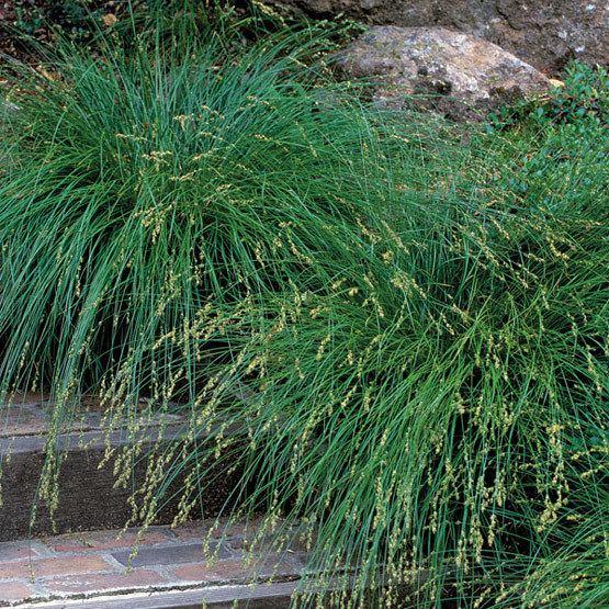 Carex wwwfinegardeningcomsitesfinegardeningcomfile