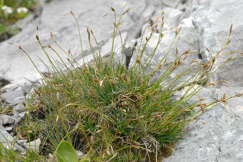 Carex firma Carex firma Host