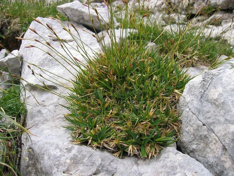 Carex firma FileCarex firma Inflorescencejpg Wikimedia Commons