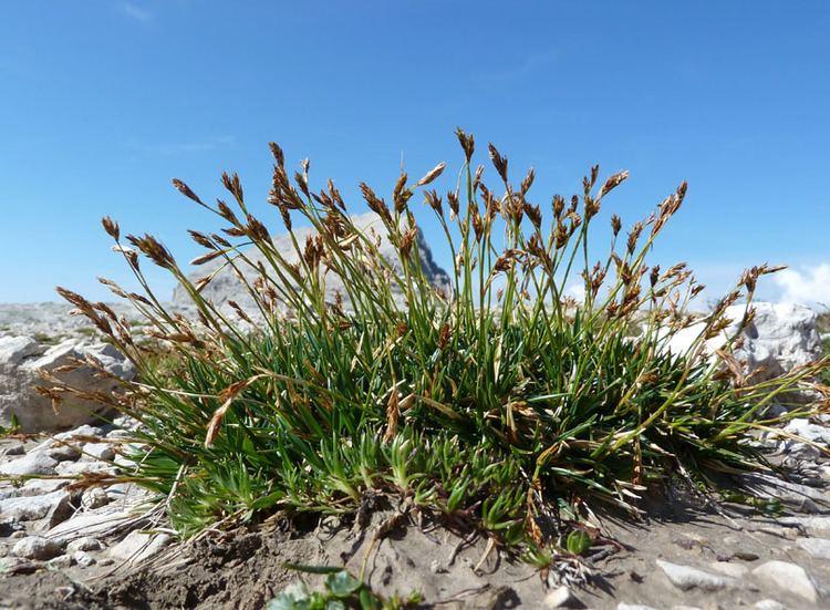 Carex firma 2 Forum Acta Plantarum Indice