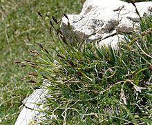 Carex firma httpsuploadwikimediaorgwikipediacommonsthu