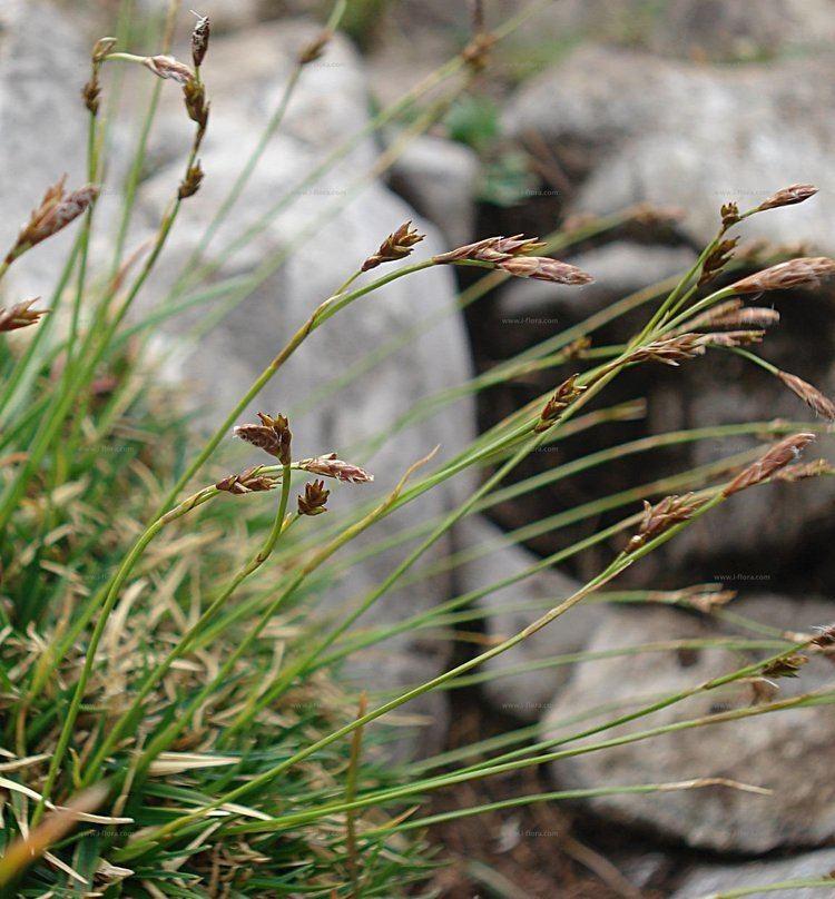 Carex firma Suche nach Arten PolsterSegge Carex firma Host