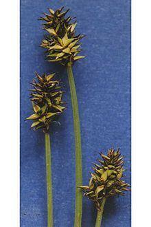 Carex illota httpsuploadwikimediaorgwikipediacommonsthu