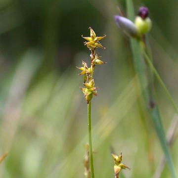 Carex interior Inland Star Sedge Carex interior Plants of the Northeastern US