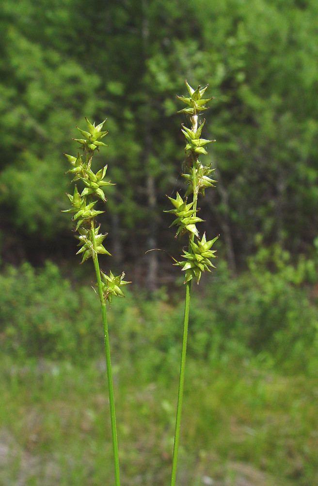 Carex interior Carex interior inland sedge Go Botany