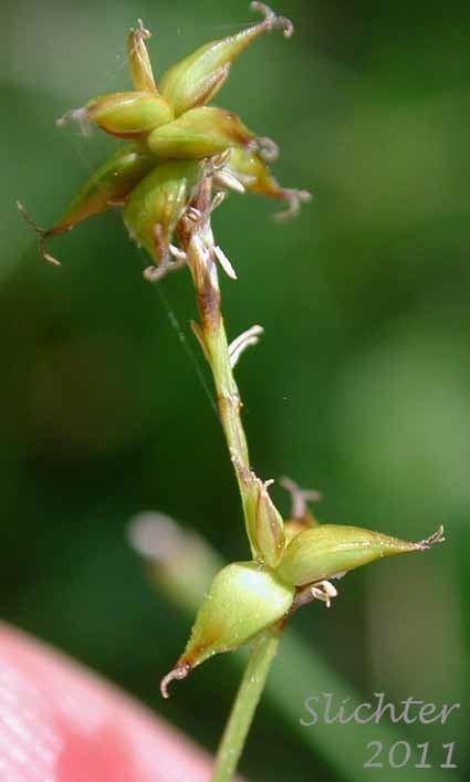 Carex interior Inland Sedge Carex interior Synonym Carex interior ssp