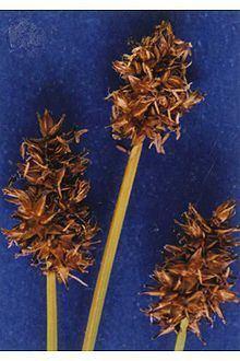 Carex jonesii httpsuploadwikimediaorgwikipediacommonsthu