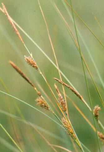 Carex lasiocarpa Carex lasiocarpa