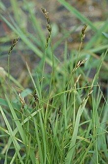 Carex leporina httpsuploadwikimediaorgwikipediacommonsthu