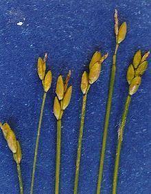 Carex leptalea httpsuploadwikimediaorgwikipediacommonsthu