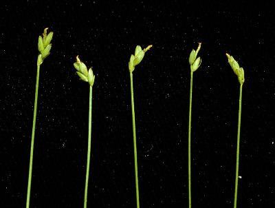 Carex leptalea Carex leptalea Michigan Flora