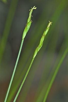 Carex leptalea Digital Atlas of the Virginia Flora Carex leptalea Wahlenb