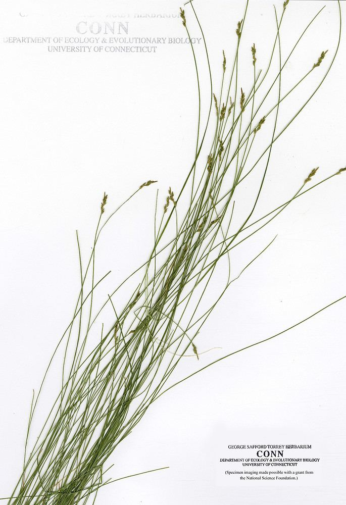Carex leptalea Carex leptalea bristlystalk sedge Go Botany