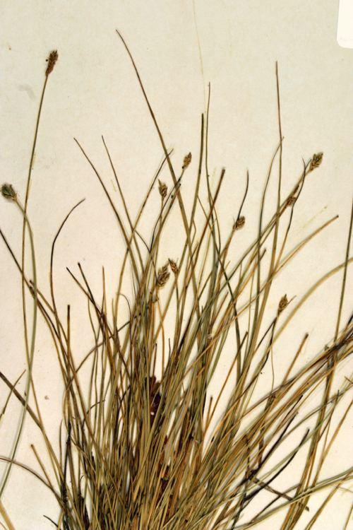 Carex leptalea CalPhotos Carex leptalea Bristlystalked Sedge