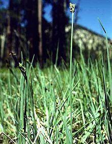 Carex livida httpsuploadwikimediaorgwikipediacommonsthu