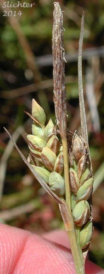 Carex livida Pale Sedge Livid Sedge Carex livida Synonyms Carex limosa var