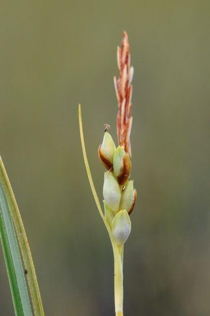 Carex livida Livid Sedge Carex livida Biopix photoimage 70987