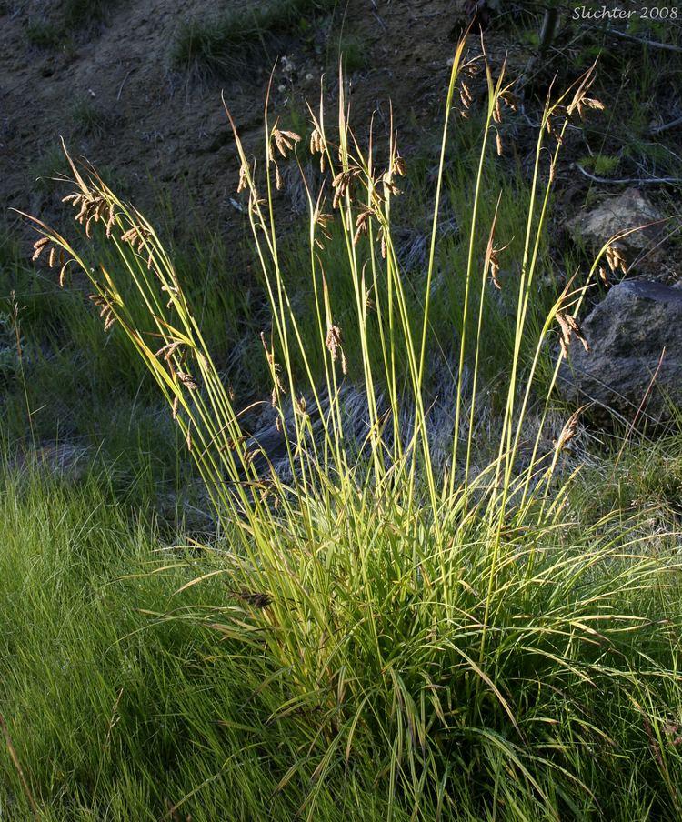 Carex mertensii sciencehalleyhostingcomnaturecascademtadamss