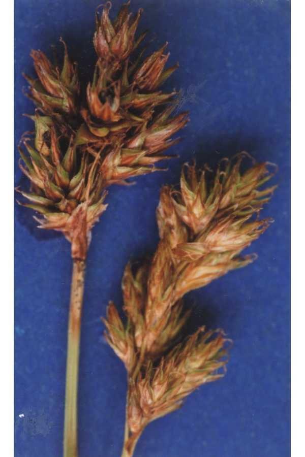 Carex multicostata