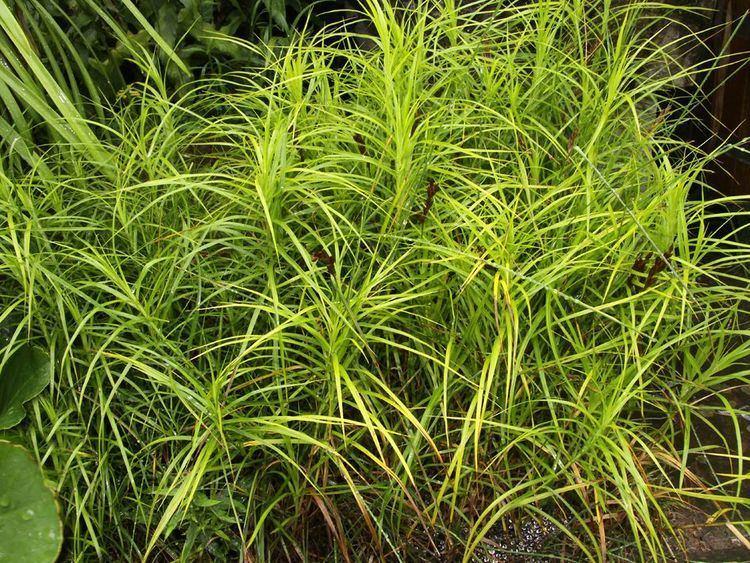 Carex muskingumensis httpssmediacacheak0pinimgcomoriginals43
