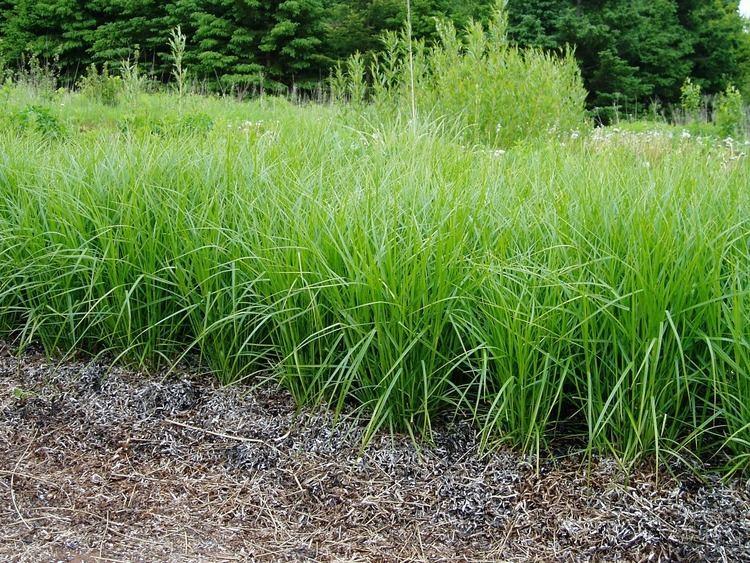 Carex muskingumensis Lovegrass Farm Photos of Carex muskingumensis palm sedge at