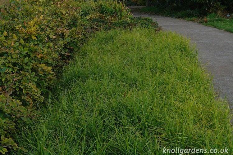 Carex muskingumensis Carex muskingumensis Knoll Gardens Ornamental Grasses and