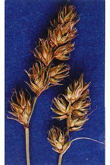 Carex occidentalis httpsuploadwikimediaorgwikipediacommonsthu