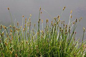 Carex otrubae Carex otrubae New Zealand Plant Conservation Network
